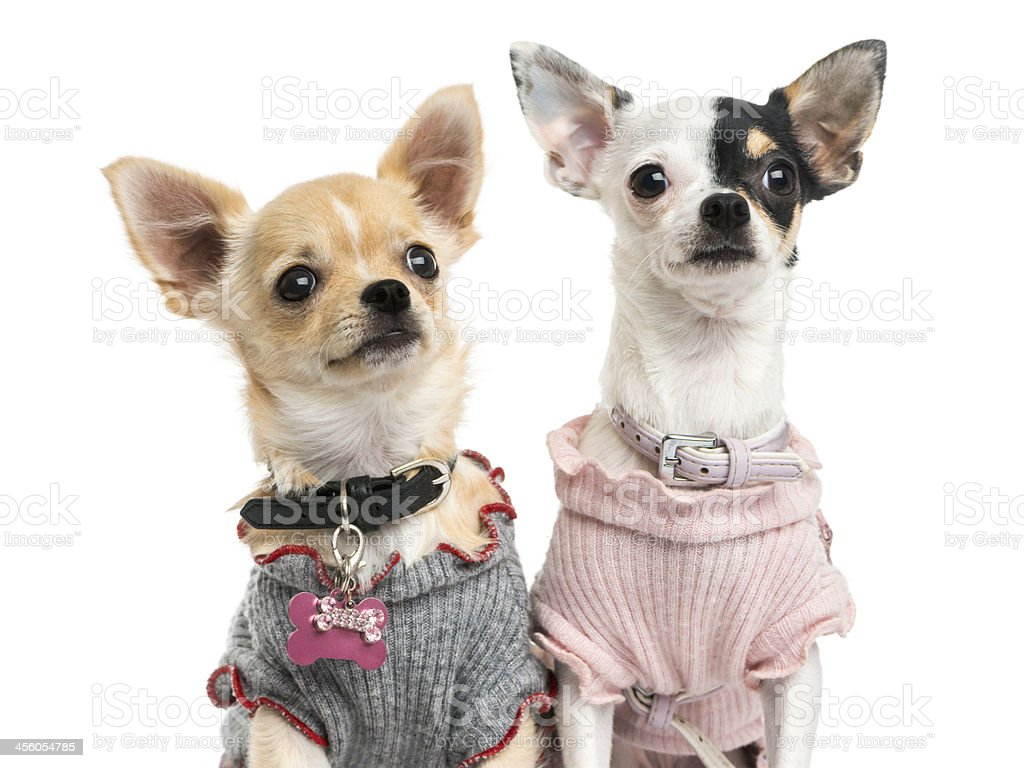 Close-up of dressed-up Chihuahuas, looking up, isolated on white stock photo