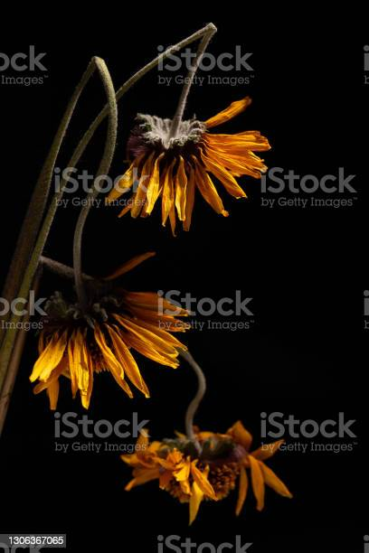 Photo of Close-up of dried yellow gerbera daisy flowers on black background