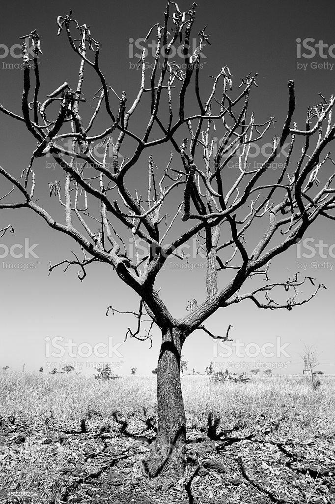 Close-Up de seca brasileiro Savannah ou Cerrado árvore foto royalty-free