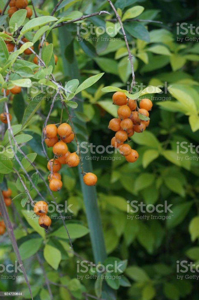 Closeup of Duranta fruits or orange berries stock photo