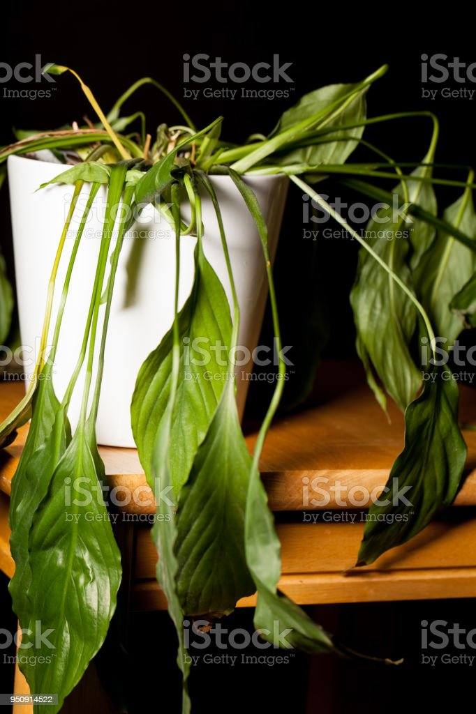 Close-up of dying dehydrated Peace Lilly house plant in pot stock photo