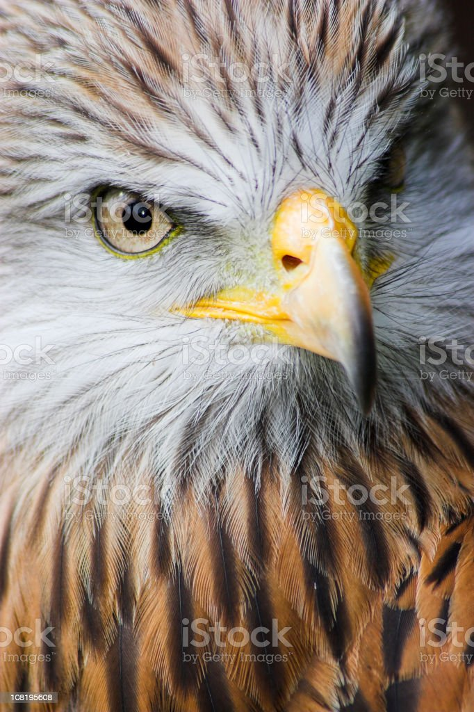 Close-up of Eagle royalty-free stock photo