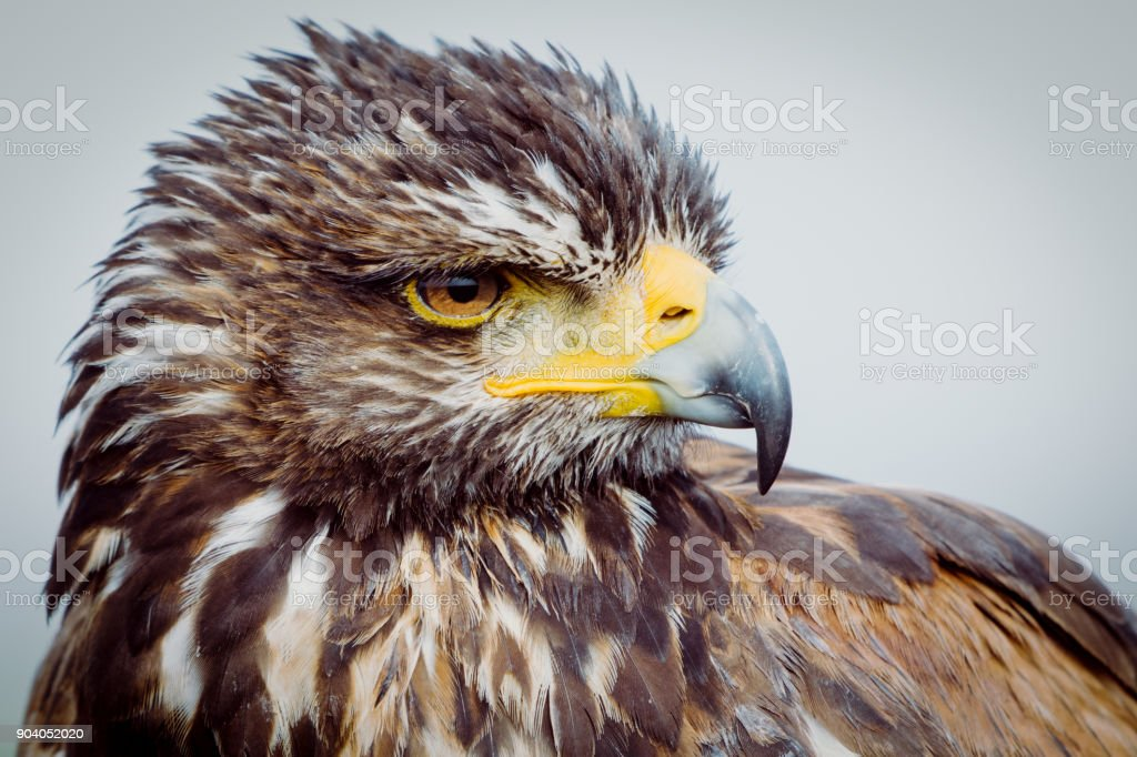 A close-up of eagle with orange big eyes stock photo