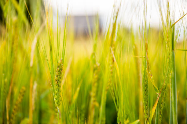 Close-up of ears of barley in the field stock photo