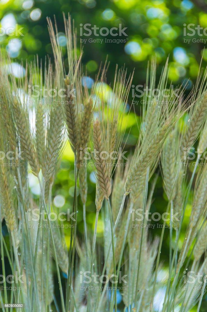 closeup of ears of rye, wheat stock photo