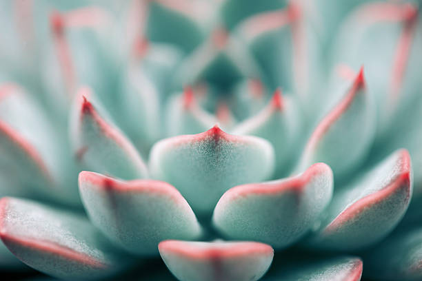 Close-up of Echeveria Succulent plant background stock photo