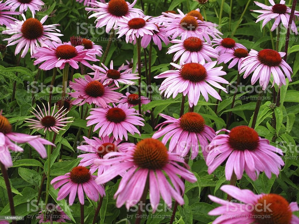 Close-up of Echinacea flowers in the grass stock photo