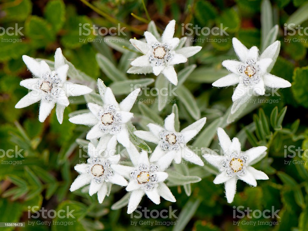 A close-up of edelweiss flowers stock photo