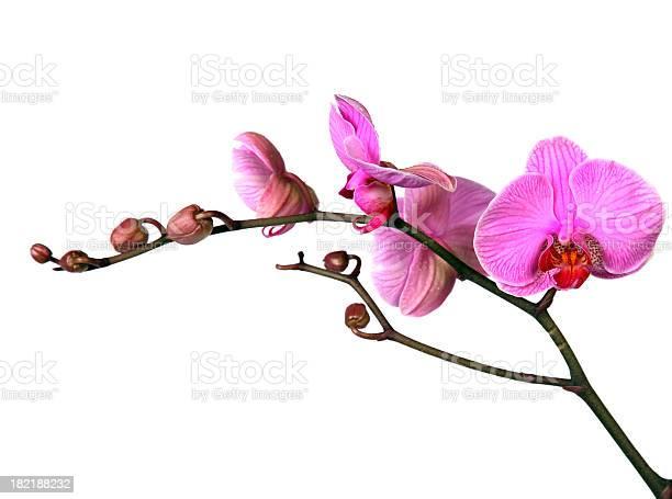 Closeup of elegant pink orchid twig picture id182188232?b=1&k=6&m=182188232&s=612x612&h=dploknjdyi1pl1lbdkxtilhtsbobs2b5gu0 rr1rgza=