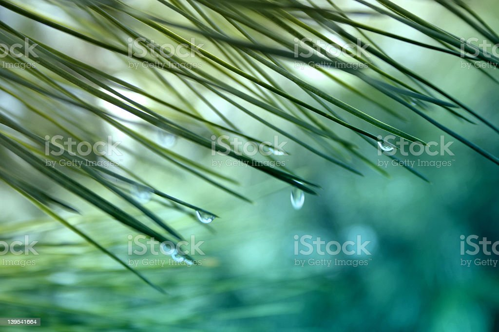 Close-up of emerald needle leaves with falling dew royalty-free stock photo
