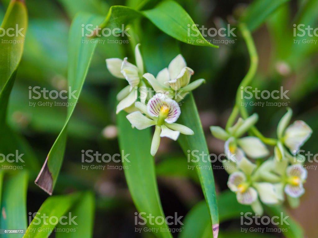 Closeup de Encyclia Radiata orquídea flor foto de stock royalty-free