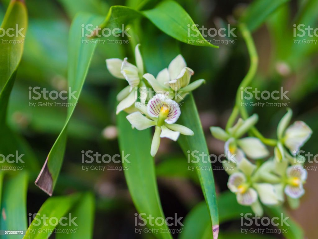 Closeup of Encyclia Radiata Orchid Flower stock photo