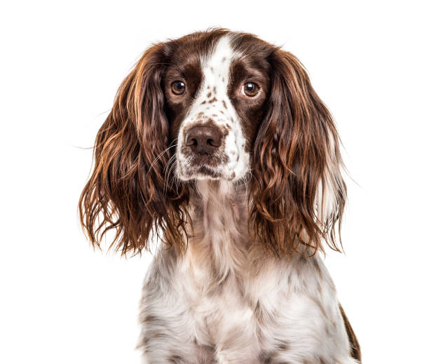 Royalty free silhouette of english springer spaniel for English springer spaniel coloring pages