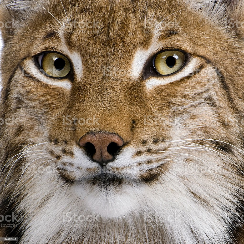 Close-up of Eurasian Lynx 5 years old stock photo