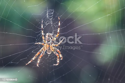Closeup of European garden spider (cross spider, crowned orb weaver) sitting on a spider web