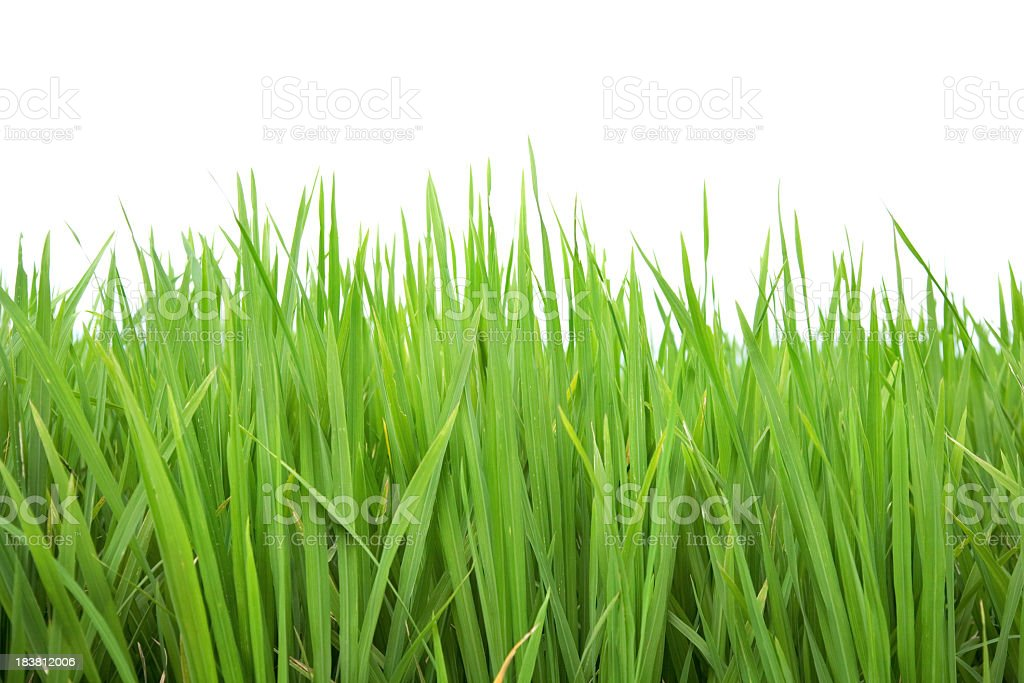 Close-up of evergreen grass on white background royalty-free stock photo