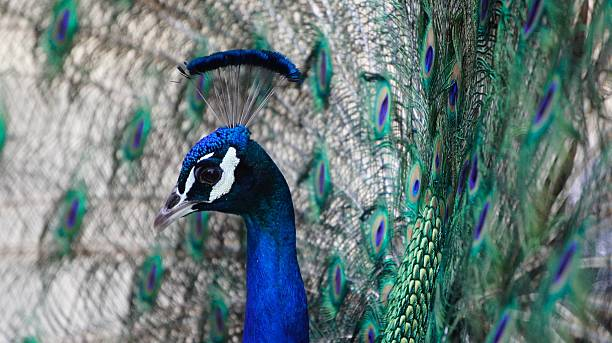 Close-up of fanned peacock profile stock photo