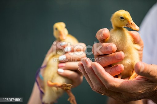 Close-up of Farm Worker Holding Duckling.