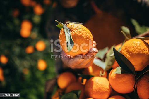 Close-up of farmer's hand holding fresh orange in orange trees orchard during harvest period