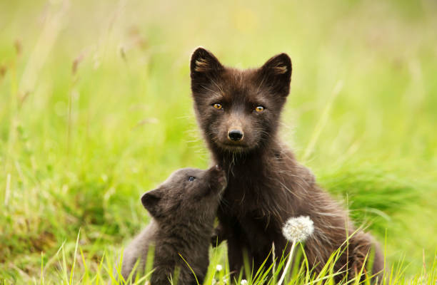 close-up of female arctic fox with a cute little cub in the meadow - raposa ártica imagens e fotografias de stock