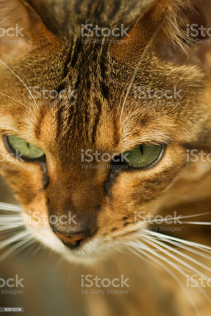 Closeup of female Bengal cat with green eyes. royalty-free stock photo