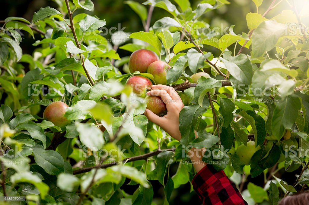 Closeup of female hand picking apples from trees stock photo