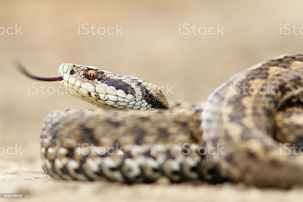 closeup of female meadow adder stock photo