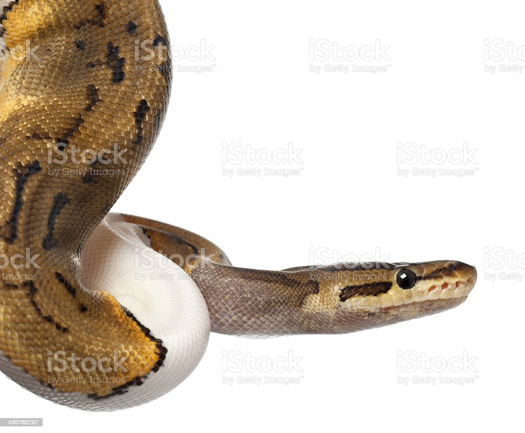 Close-up of Female Pinstripe Pied Royal python, 14 months old royalty-free stock photo