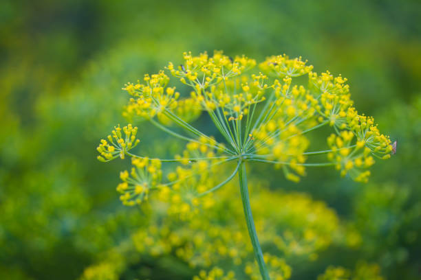 Closeup of fennel Closeup of fennel fennel stock pictures, royalty-free photos & images
