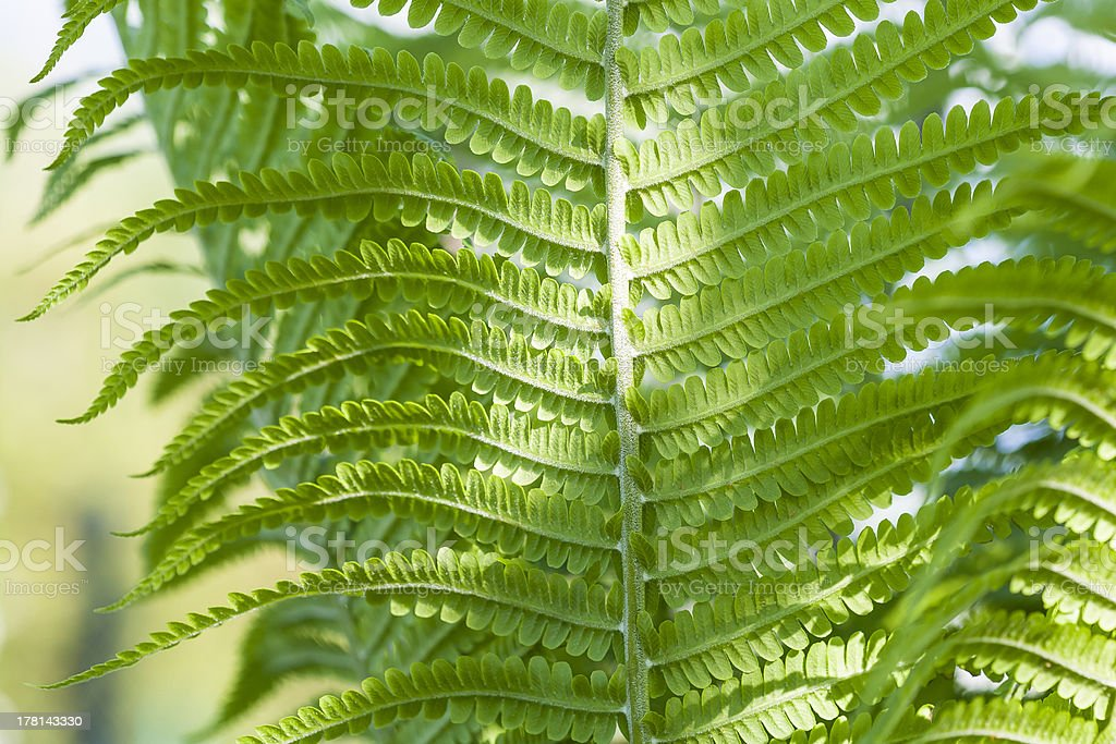 Close-up of fern leaf. royalty-free stock photo