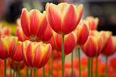 Close-up of flower bed with red and yellow variegated tulips. Shallow DOF. Focus on the tulip in the middle.