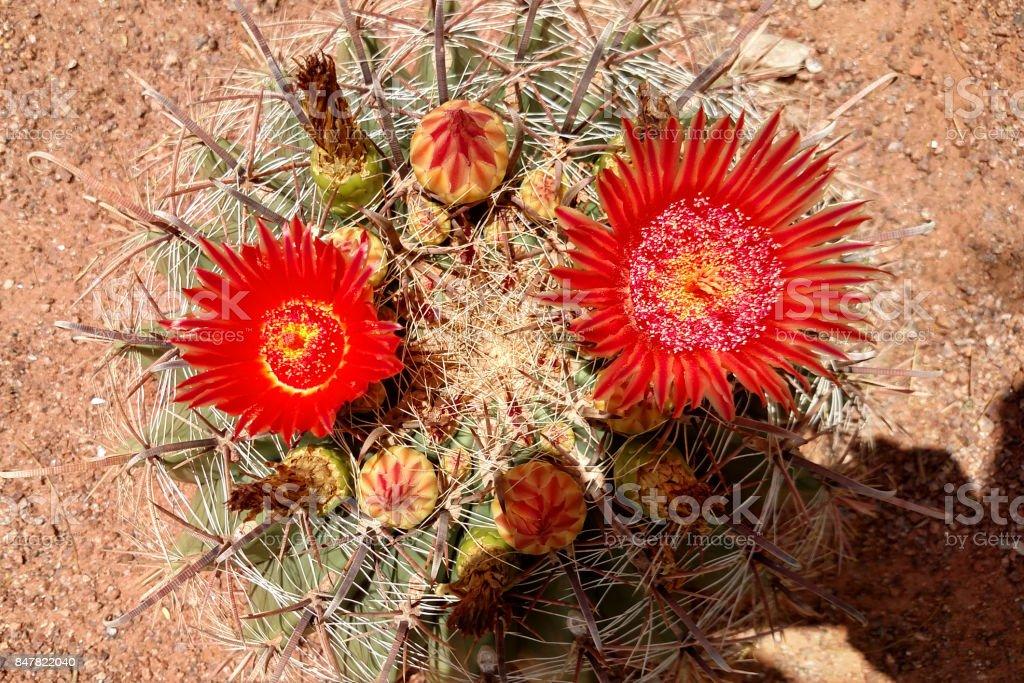 Closeup of flowering cactus in public park in St George Utah along walkway through desert gardens stock photo