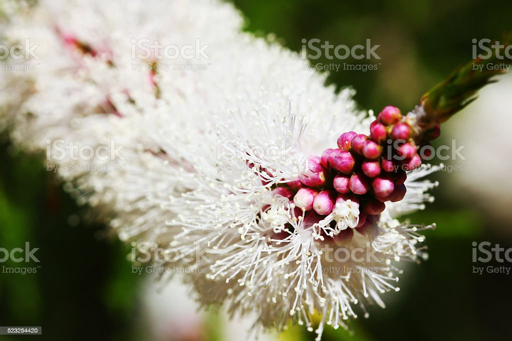 Close-up of Flowers and Buds of a Tea-Tree, Western Australia stock photo