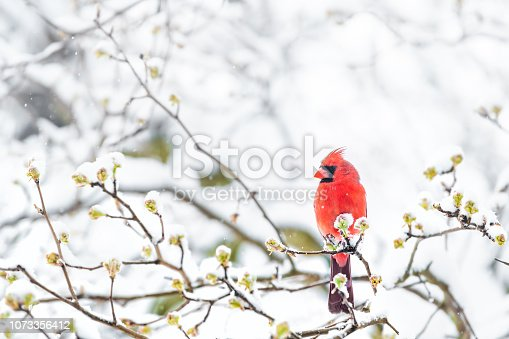 istock Closeup of fluffed, puffed up red male cardinal bird, looking, perched on sakura, cherry tree branch, covered in falling snow with buds, heavy snowing, cold snowstorm, storm, Virginia 1073356412