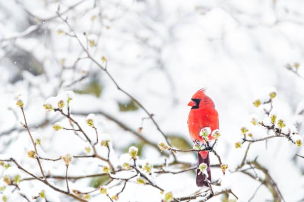 closeup de mullido, soplado para arriba macho cardenal pájaro rojo, mirando, encaramado en la rama de árbol de sakura, cereza, cubierto de caer nieve con cogollos, nieve pesada, fría tormenta de nieve, tormenta, virginia - invierno fotografías e imágenes de stock