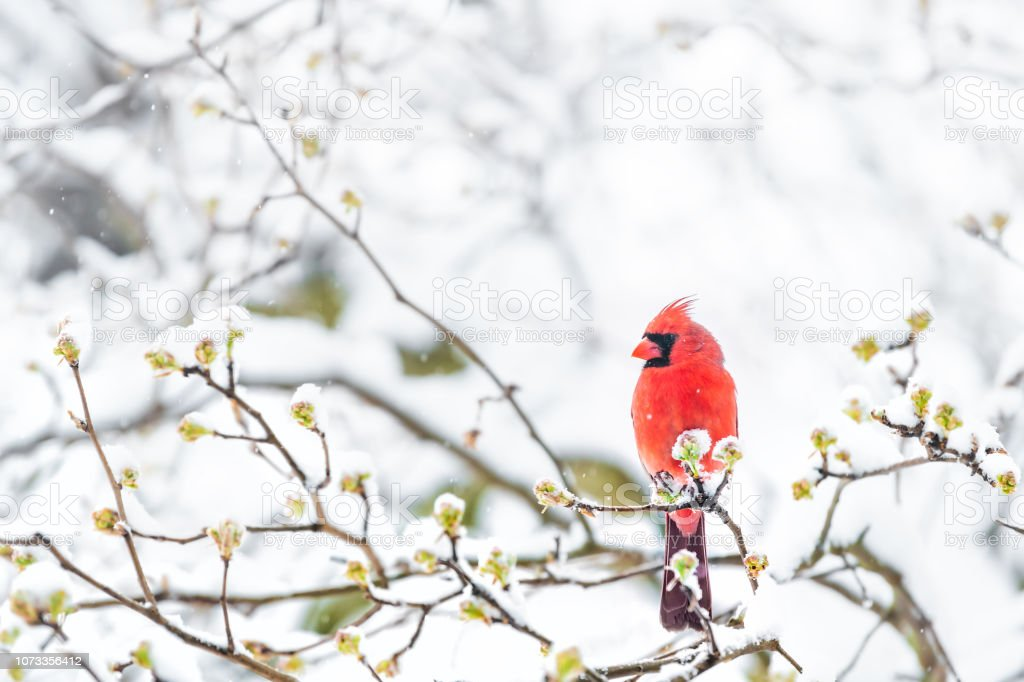 Closeup of fluffed, puffed up red male cardinal bird, looking, perched on sakura, cherry tree branch, covered in falling snow with buds, heavy snowing, cold snowstorm, storm, Virginia stock photo