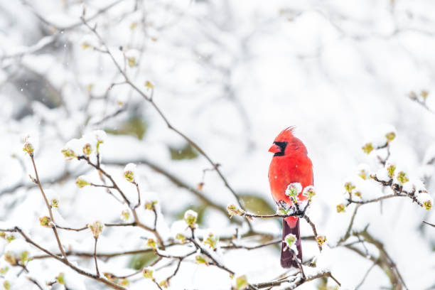 closeup of fluffed, puffed up red male cardinal bird, looking, perched on sakura, cherry tree branch, covered in falling snow with buds, heavy snowing, cold snowstorm, storm, virginia - inverno imagens e fotografias de stock