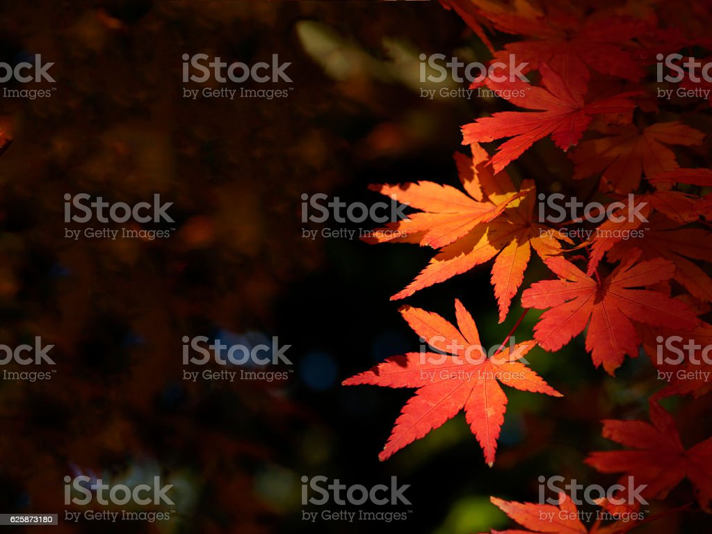 Close-up of foliage leaves that leaves maples ストックフォト