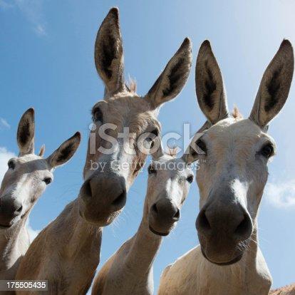istock Close-up of four donkeys staring at camera 175505435