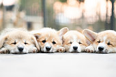 istock Closeup of four group lovely, cute corgi dog puppies lying, relaxing and sleeping in summer sunny day 1129868236