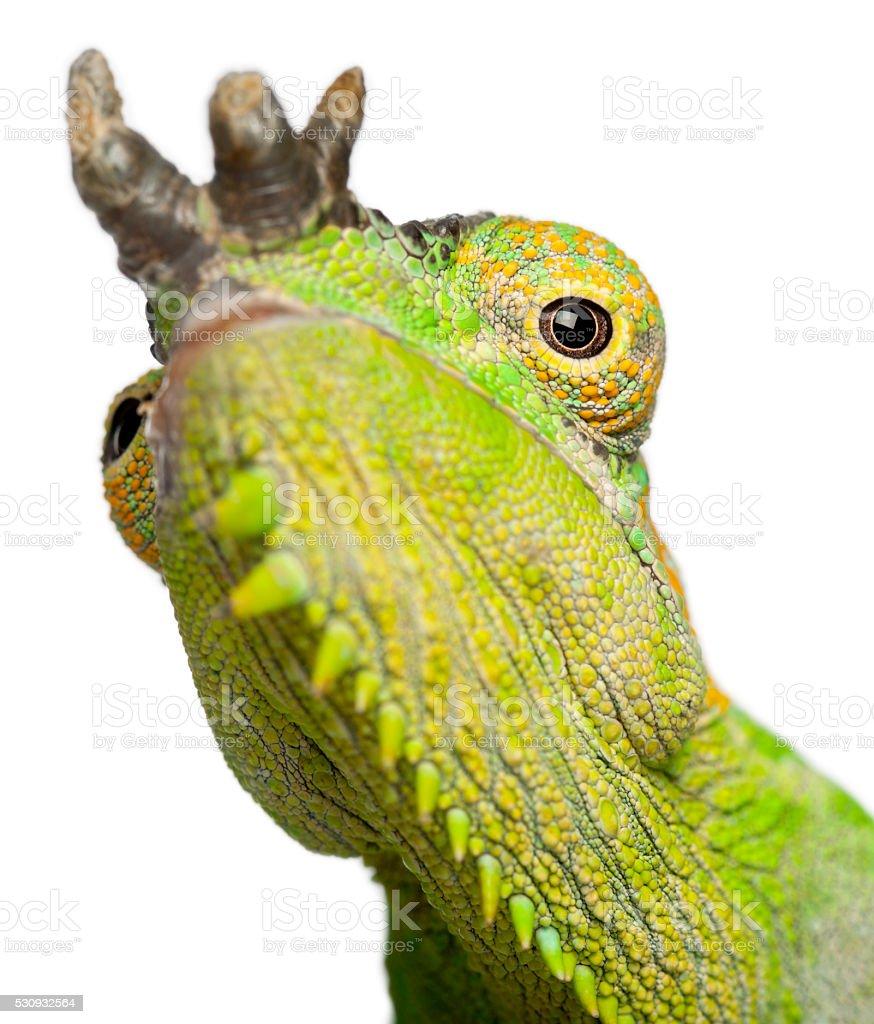 Chameleon Horns: Closeup Of Fourhorned Chameleon Chamaeleo Quadricornis