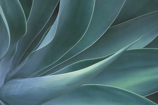 Closeup of Fox Tail Agave Plant in Blue Tone Color Natural Pattern Background