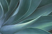 istock Closeup of Fox Tail Agave Plant in Blue Tone Color Natural Pattern Background 1287011818