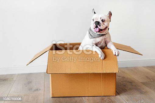 Closeup of French bulldog in a paper box on a wooden floor