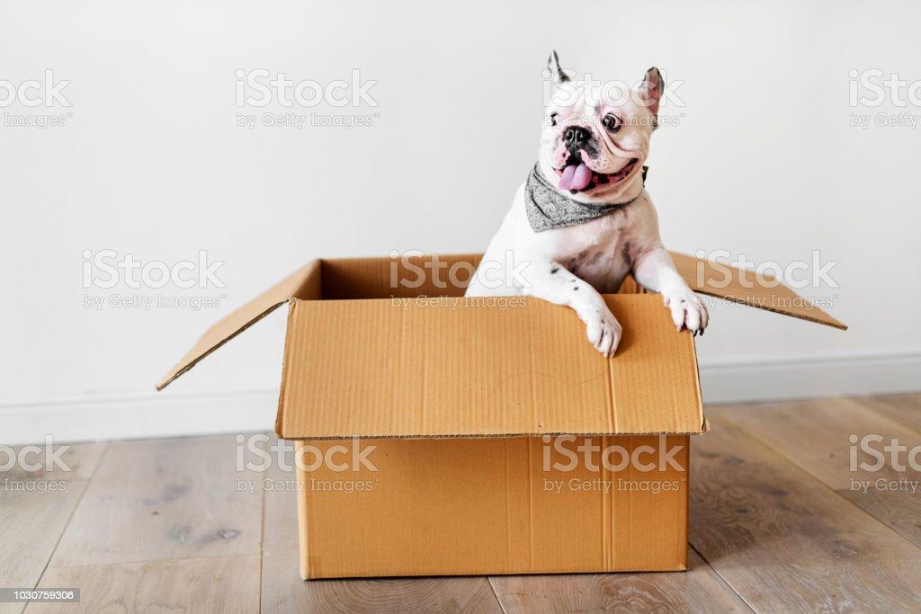 Nahaufnahme von französische Bulldogge – Foto