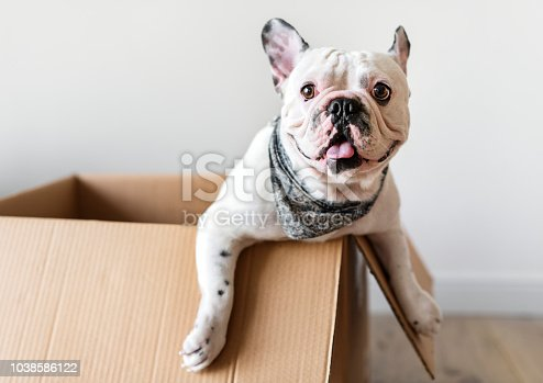 Closeup of French bulldog