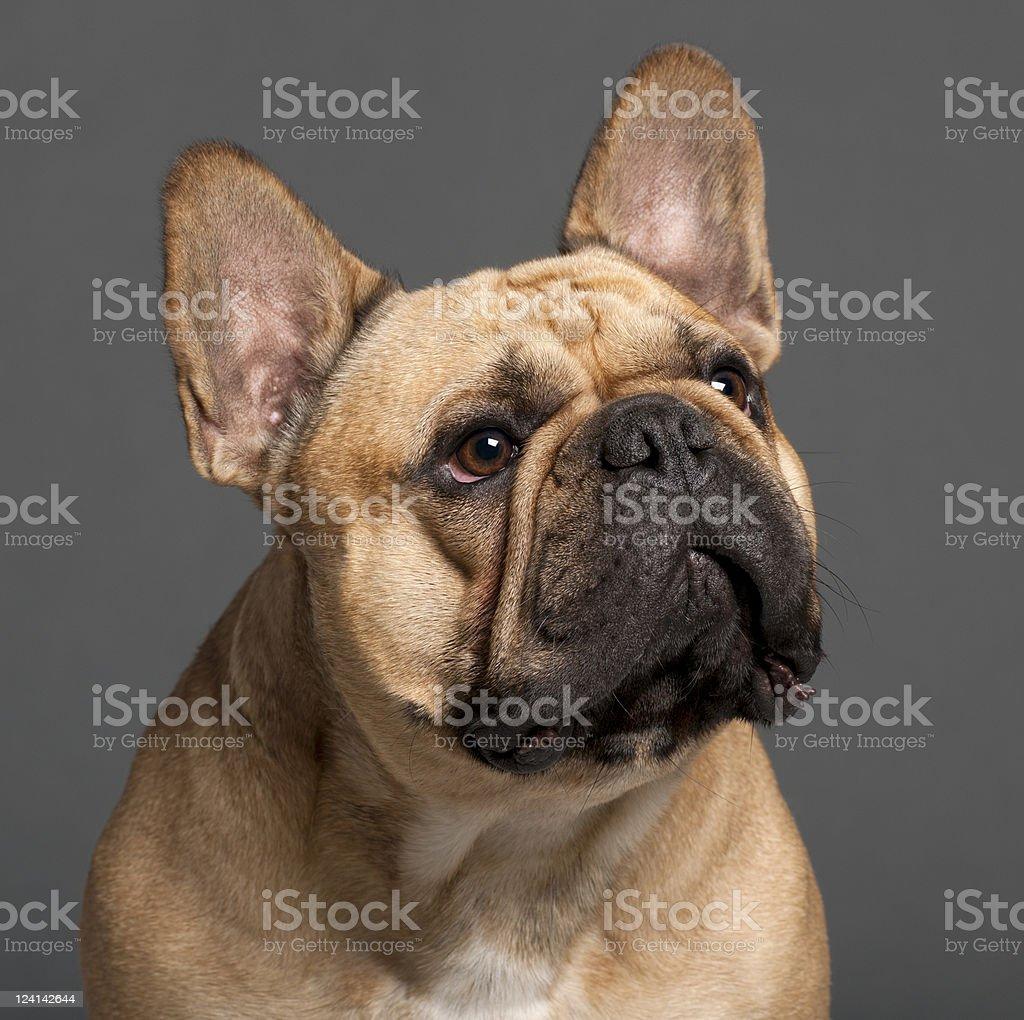 Closeup Di Bulldog Francese Due Anni Sfondo Grigio Fotografie