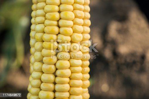 Closeup of fresh corn in a field. organic harvest background.