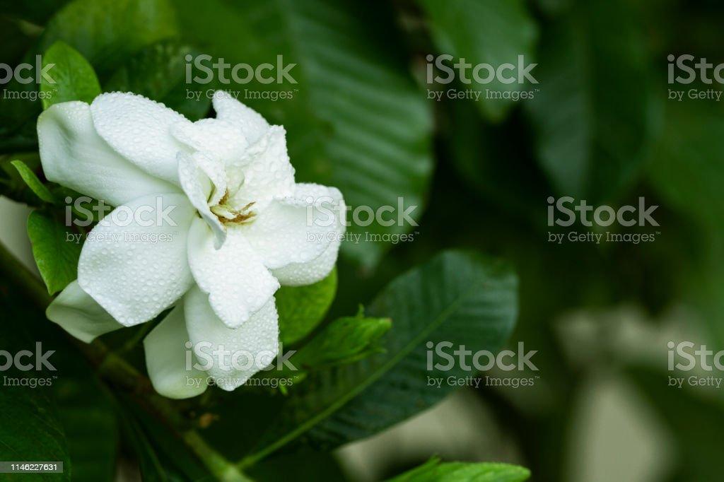 closeup of fresh Gardenia flowers with dew drops in tropical garden...