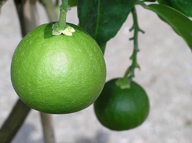 Nahaufnahme von frischen grapefruits auf einem Baum – Foto